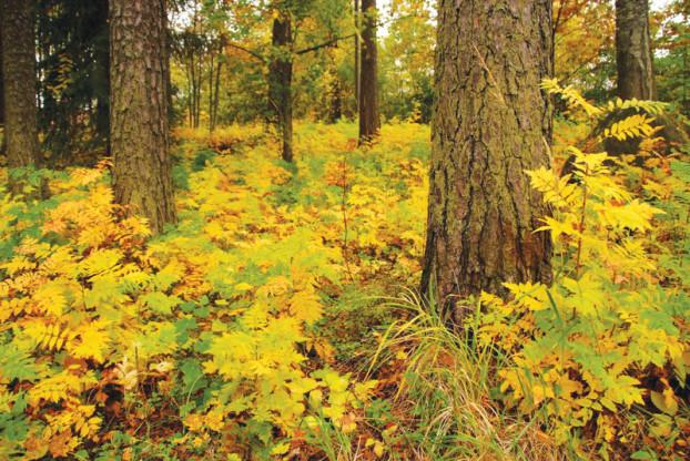 (big)芬兰有很魔幻的森林,通常只长有低矮的草和高大直立的树