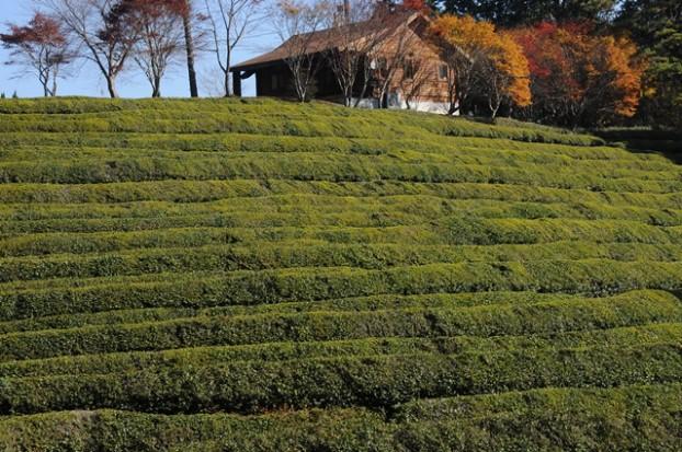 一层层的绿茶