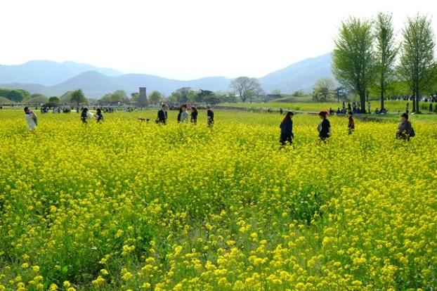 4月的大陵苑开满大片的油菜花,非常耀眼