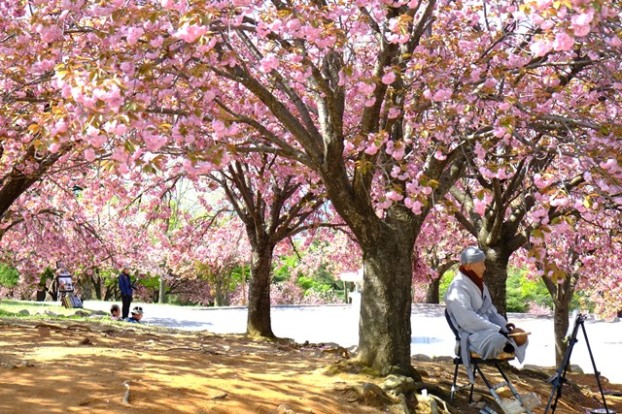 (BIG)佛国寺前的大花园,4月份开满晚樱